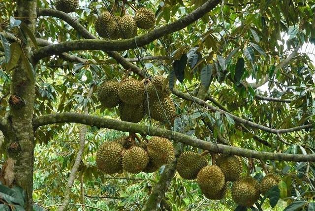 Vườn sầu riêng Bảy Thảo nổi tiếng với những cây sầu riêng sai trĩu trái khi đến mùa