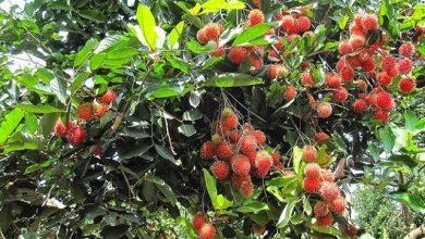 Photo of Các vườn trái cây ở Bến Tre thu hút nhiều khách du lịch