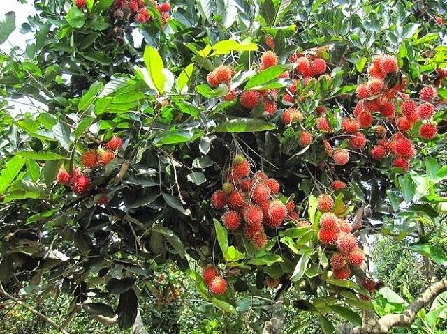 Bạn đến với khu du lịch sinh thái vườn Ba Ngói để tham quan, ăn và mua về chôm chôm, sầu riêng ...