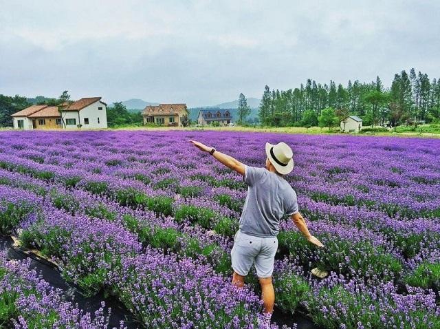 Những cánh đồng hoa oải hương ở Đà Lạt không chỉ thu hút những bạn trẻ mà còn là địa điểm có cảnh đẹp để các cặp đôi chụp hình cưới