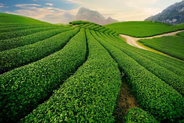 Những đồi chè của Mộc Châu là nơi mà nhiều nhiếp ảnh gia đến để tạo nên những tác phẩm tuyệt đẹp