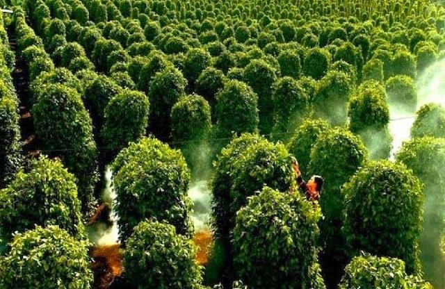 Vườn Tiêu Phú Quốc là nơi mà nhiều du khách đến để tham quan