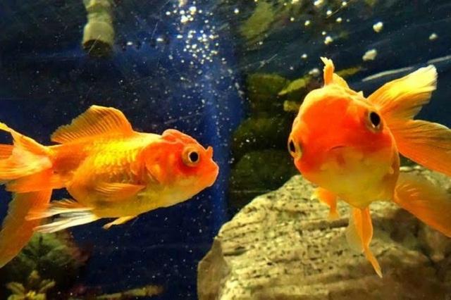 Nhiều nghiên cứu đã chứng minh não cá vàng có thể ghi nhớ mọi thứ lên đến 5 tháng