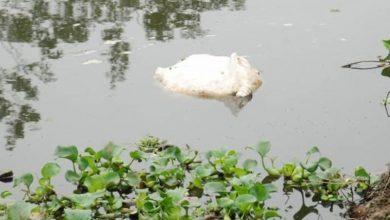 Photo of Xác lợn chết trôi khắp sông khi dịch tả lợn Châu Phi tiếp tục bùng phát
