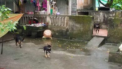 Photo of Người dân kể phút kinh hoàng khi cháu bé ở Hưng Yên bị chó cắn chết