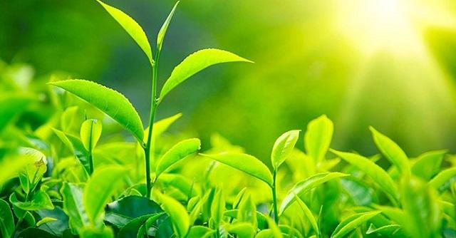 Quang hợp là quá trình hấp thụ ánh nắng mặt trời của các loài thực vật