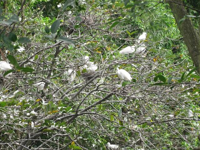 Những du khách yêu thiên nhiên thì không thể bỏ qua địa điểm vườn chim khi tới đất mũi Cà Mau