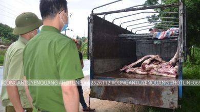 Photo of Phát hiện gần 1 tấn lợn và thịt lợn mắc dịch tả lợn Châu Phi đang trên đường chuyển về Lập Thạch để tiêu thụ